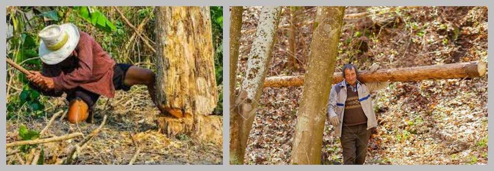 통나무 벌목 현장, 사람이 직접 나무를 운반한다고?